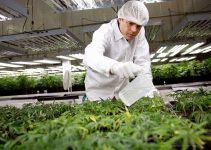 cannabis careers top jobs marijuana industry work growing pot selling cbd