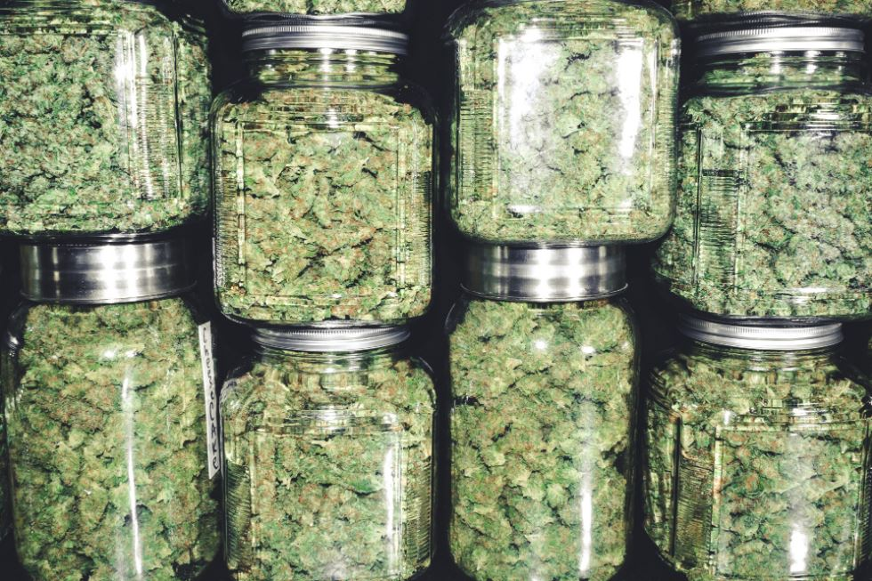 what's the difference between indica and sativa cannabis strains marijuana types pot potency